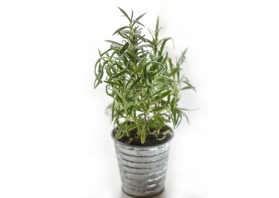 rosemary-oil-benefits-lifestylica (2)