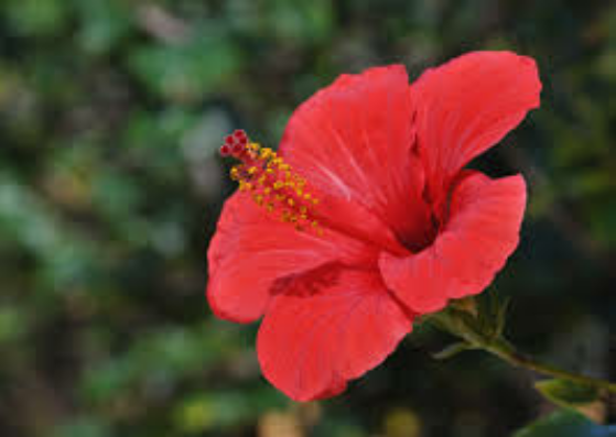 Hibiscus for gray hair-lifestylica