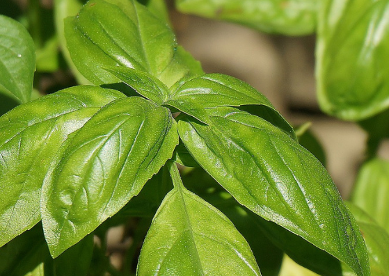 Basil_for_pigmentation_lifestylica