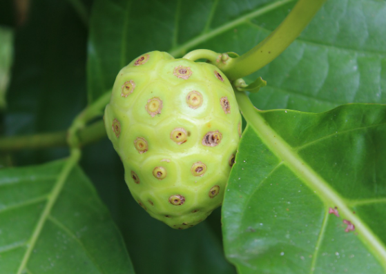 Noni juice benefits - lifestylica