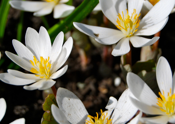 how-to-throw-up-bloodroot-herb-lifestylica